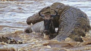 Un coccodrillo gigante in agguato