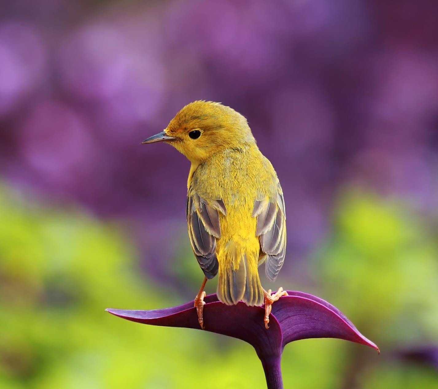 Un uccellino giallo - Sfondi per Android, i più belli da scaricare gratis