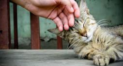 Un gatto accarezzato che fa le fusa