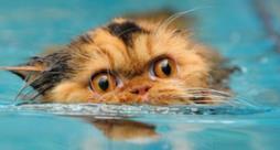 Un gatto che nuota