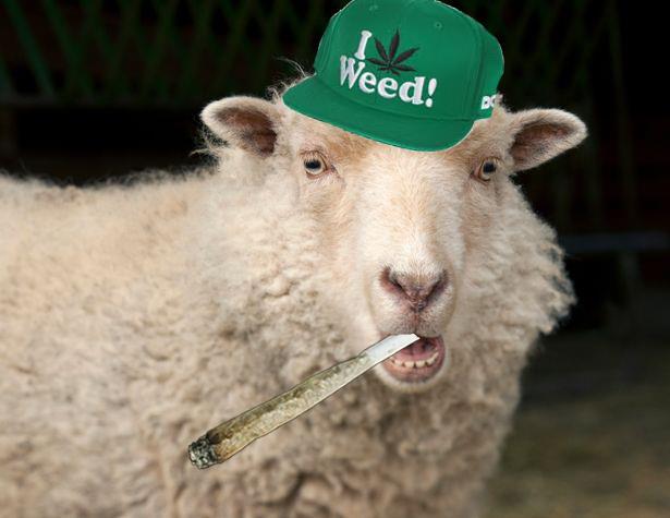 Una pecora con un cappello verde che fuma erba
