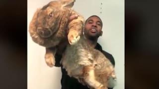 Il coniglio gigante sollevato dal suo padrone