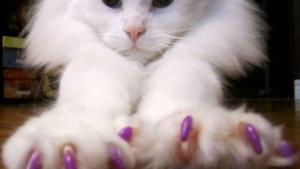 Un tenero gatto colpito dalla moda della manicure per felini