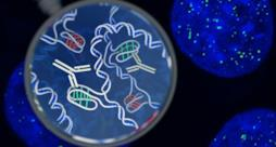Il DNA che forma gli i-motif