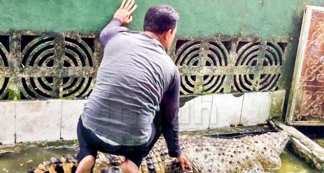 Il signore indonesiano che accarezza il suo coccodrillo domestico