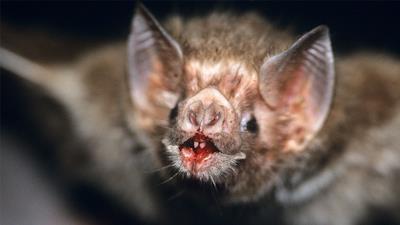 Un pipistrello