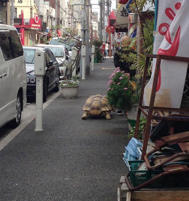 La tartaruga gigante a passeggio per le strade di Tokyo