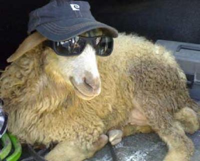 Un ovino col cappello e gli occhiali