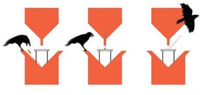 Le fasi del processo di pulizia attuato dai corvi