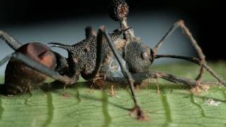 Una formica zombie