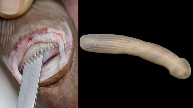 Due degli animali spaventosi che vivono le profondità marine
