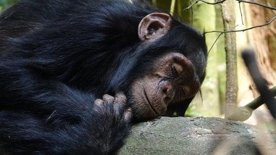 Uno scimpanzé che dorme