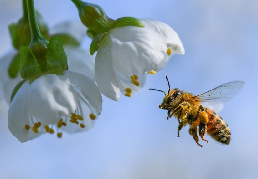 Un'ape ronza vicino a dei fiori