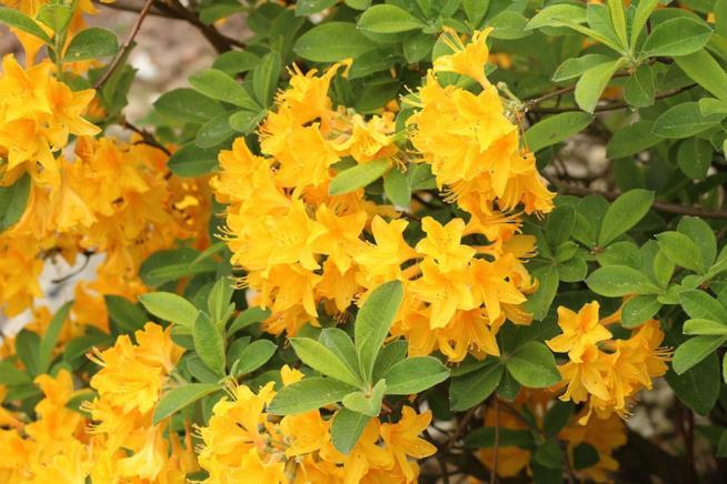 L 39 azalea come curare e coltivare la pianta della festa - Compost casalingo ...
