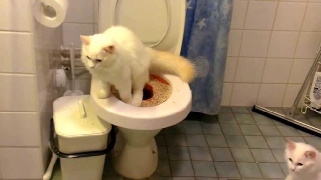 Un gatto usa un WC nel quale è stata inserita la lettiera