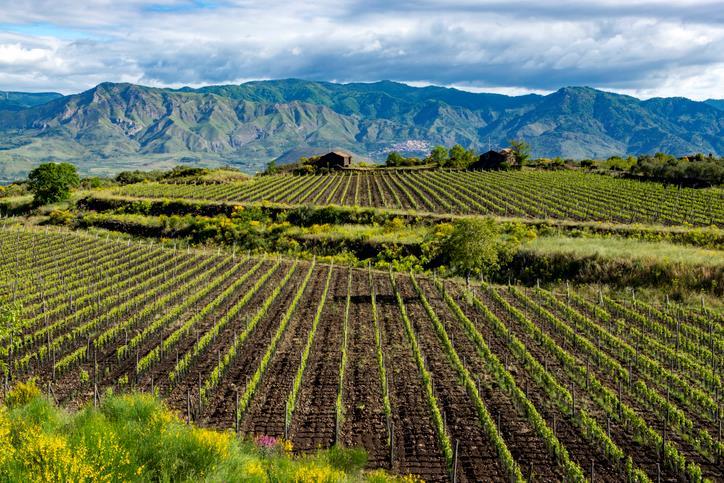 Filari di viti e sullo sfondo il massiccio montuoso dell'Etna.