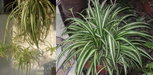 Chlorophytum elatum e comosum vittatum