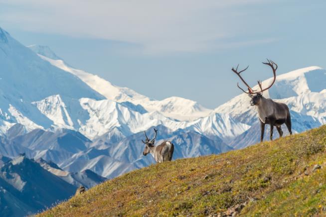 Caribou nel Denali National Park