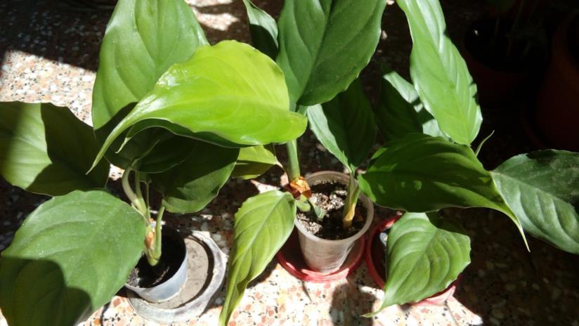 La pianta Aglaonema Modestum in vaso