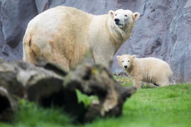 Un cucciolo di orso polare e sua mamma