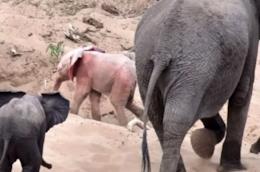 Un fotogramma dell'elefante albino.
