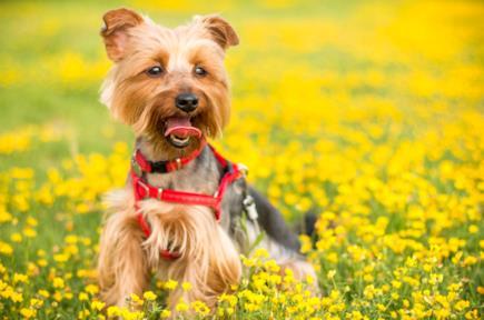 Pettorine per cani
