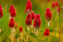 Campo con trifogli rossi