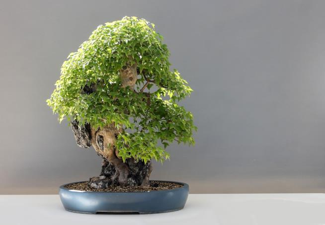 Bonsai, un'arte millenaria