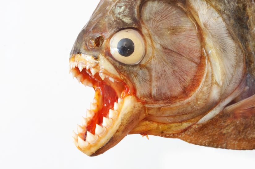primo piano di un piranha