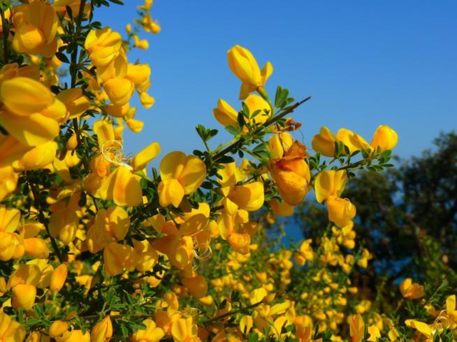 La ginestra in fiore perfetta per decorare il giardino