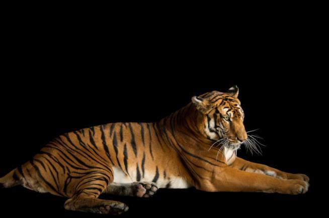 Esemplare di Tigre della Cina meridionale