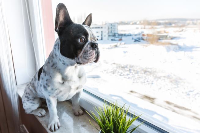 L'immagine di un cucciolo di bulldog francese alla finestra