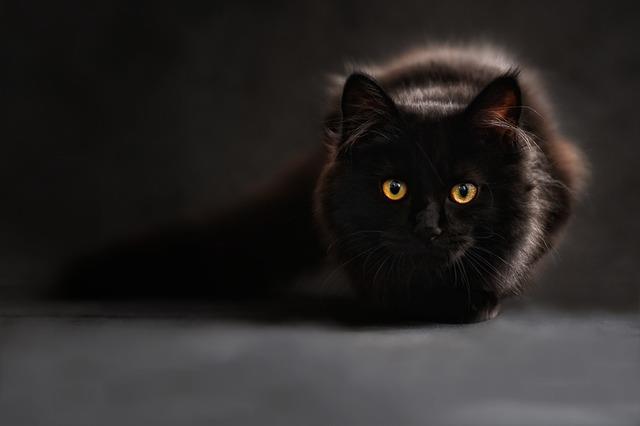 Gatto a pelo lungo nero