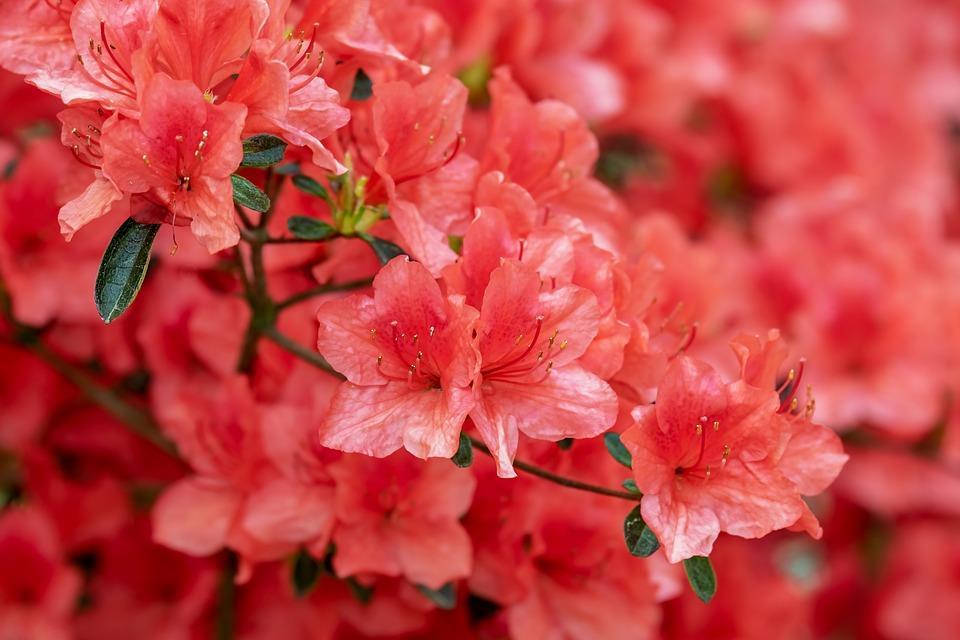 L 39 azalea come curare e coltivare la pianta della festa for Cura azalea