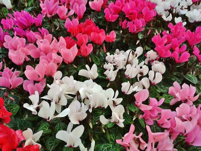 Ciclamini colorati