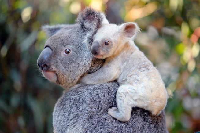 Una cucciola di koala bianco