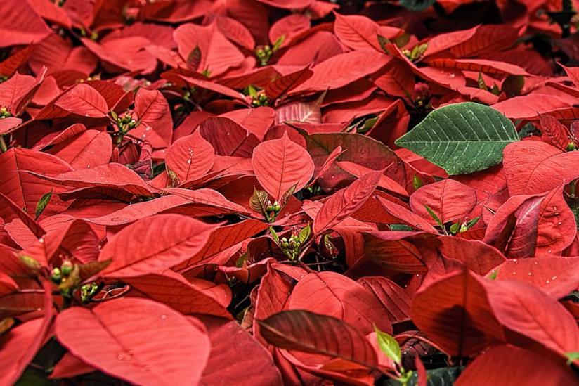 Travaso Stella Di Natale.Come Curare Coltivare E Conservare La Stella Di Natale
