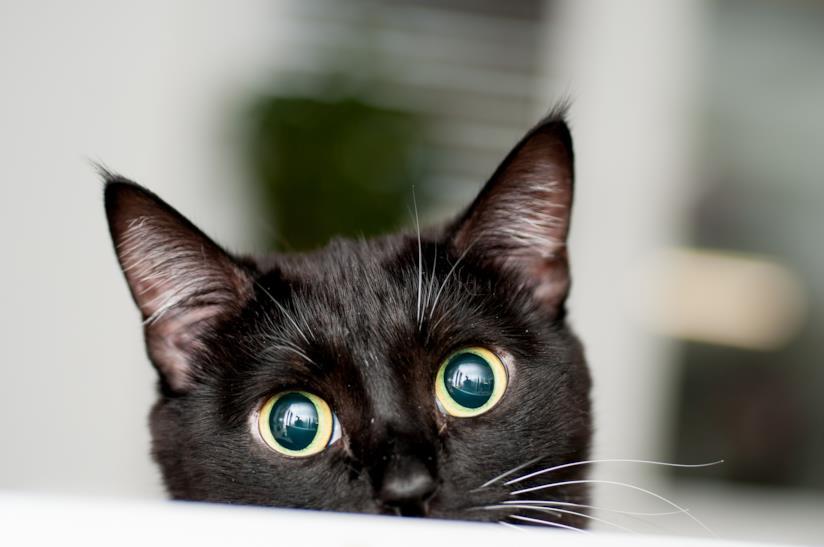 Muso di gatto nero