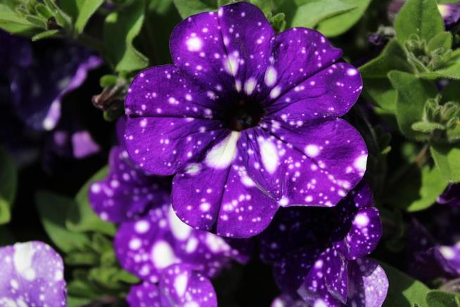Primo piano dei fiori di una petunia Night Sky