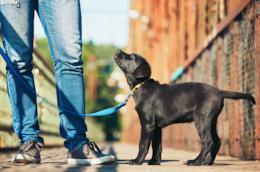 L'immagine di un cucciolo a passeggio con il suo padrone