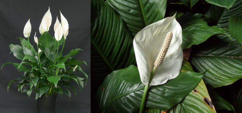 "Spathiphyllum ""'Mauna Loa'"""