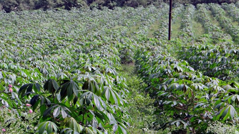 Gli utilizzi in cucina della manioca, pianta originaria del Brasile