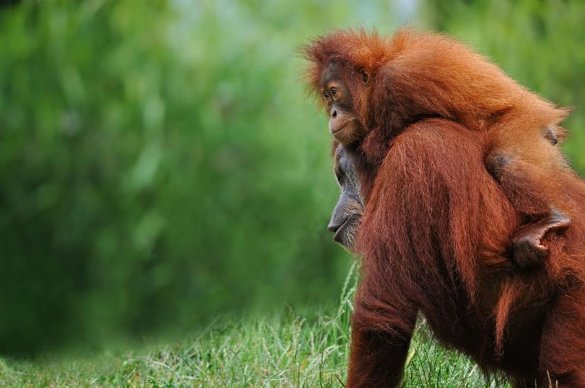 Oranghi a Sumatra in Indonesia