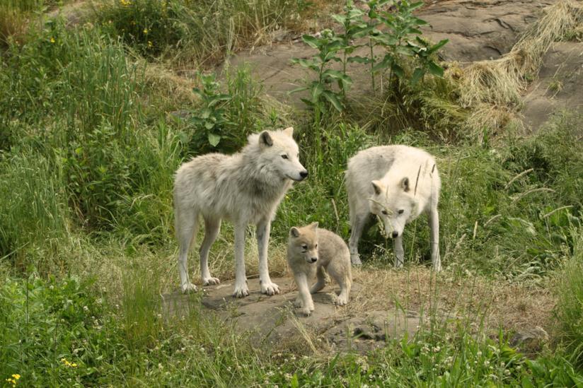 Esemplari di lupo