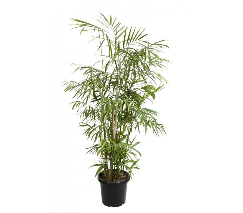 Palma di bambù (Chamaedorea seifritzii) in vaso