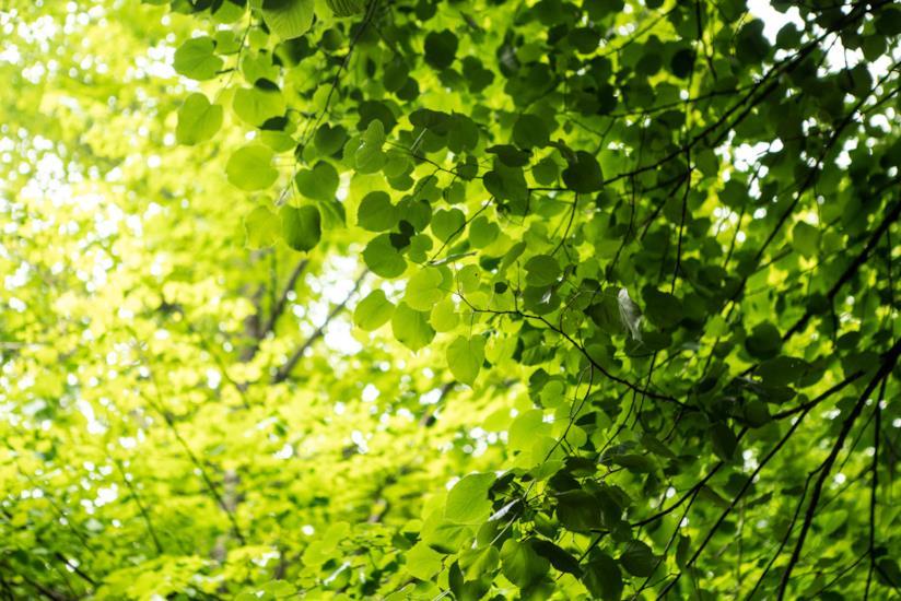 Particolare di una chioma di albero