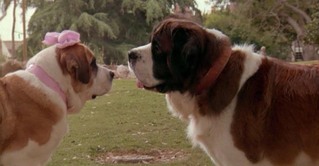 Due san bernardo in una scena  del film Beethoven