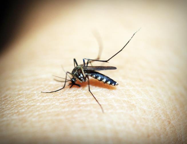 Una zanzara posata su un braccio