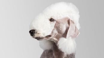 Il Bedlington terrier appartiene a una delle cinque razze più rare