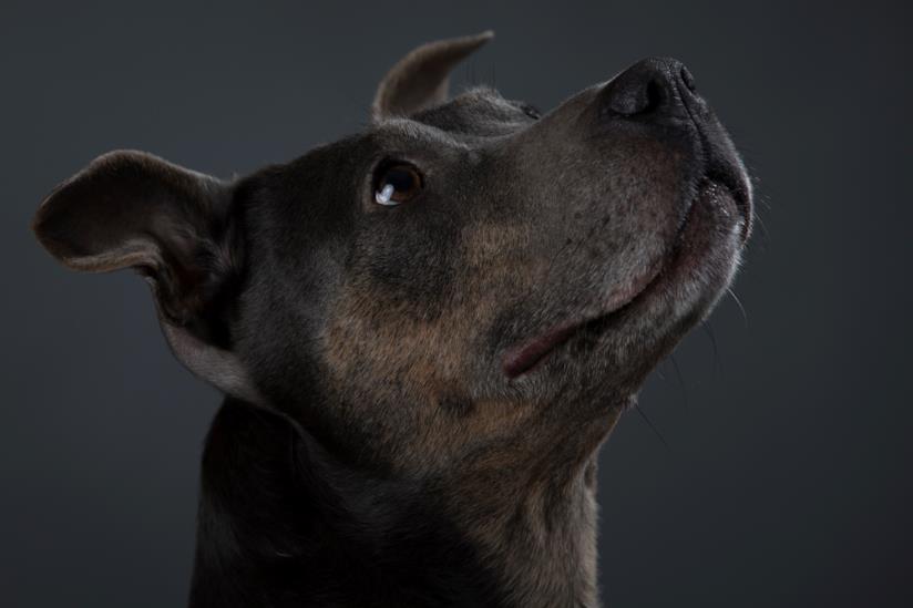Un cane dal pelo scuro guarda verso l'alto